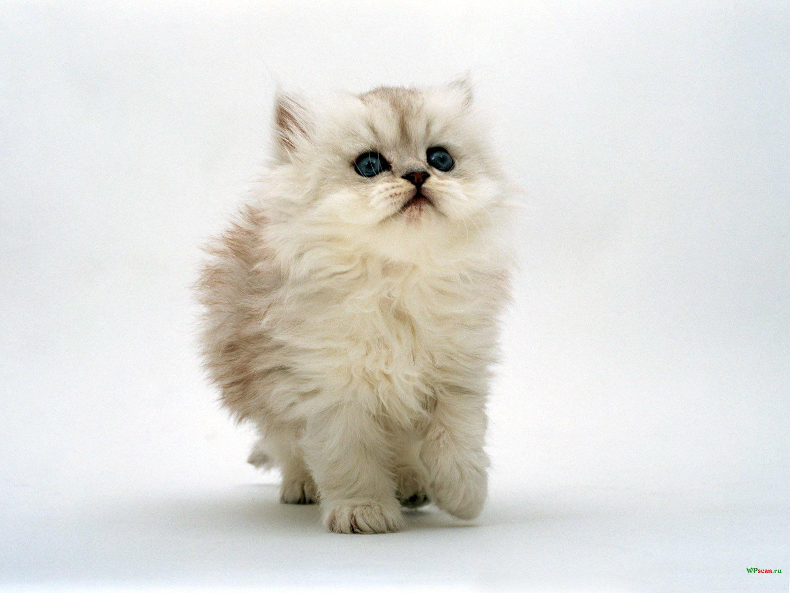 Пушистый комочек, животные, котята, кошки, лучшее, серое 1024х768
